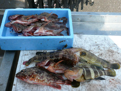 2008年9月11日(木)釣果はガシラ中心に食べ頃サイズ!