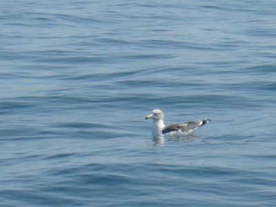 2008年10月4日(土)冠島に生息しているオオミズナギドリです