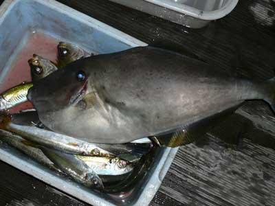 2008年10月8日(土)アオイマリーナは従業員さんの釣果です