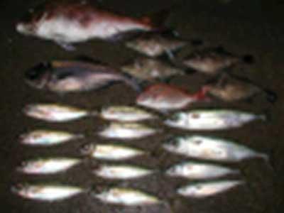 2009年1月29日(木)マリーナスタップ釣果の詳細です
