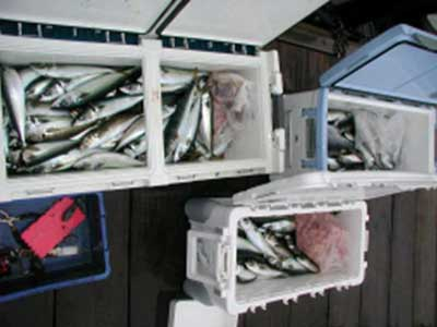 2009年1月22日(日)サバを200匹も釣られました