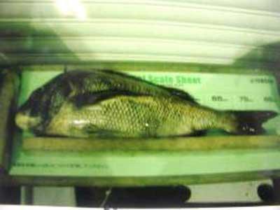 2009年7月1日(水)マダイの89cmを釣られました