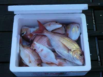 2009年9月24日(木)甘鯛を含め小型から中型の鯛を8匹も頂きました