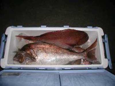 2009年10月25日(日)鯛の82cmを釣られました