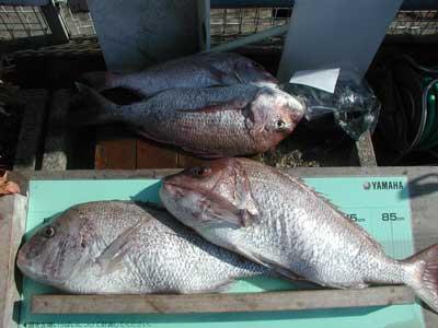 2010年9月4日(土)若狭湾で鯛の77cmを釣られました