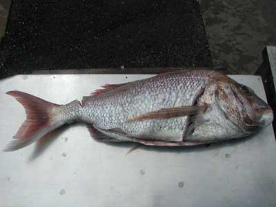 2010年9月20日(月)若狭湾で鯛の68cmを釣られました