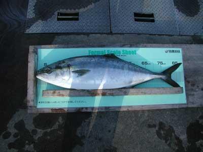 2011年1月8日(土)若狭湾で釣れたブリの90.1cm