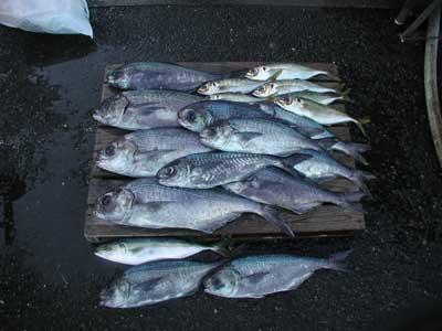 2011年2月3日(木)若狭湾でメダイや鯵を釣られました