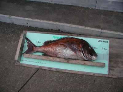 2011年2月23日(水)若狭湾で鯛の80cmを釣られました