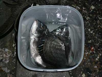 2009年1月25日(日)嵯峨根渡船さんのお客さんが釣られたチヌは最大49cmとの事です