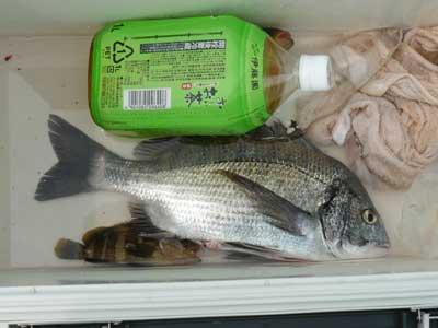 2008年8月2日(土)舞鶴は吉田の筏で目視約35cmのチヌが上がった