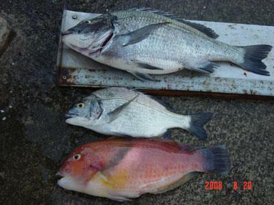 2008年8月20日(水)舞鶴は吉田の筏で40cmのチヌが上がった