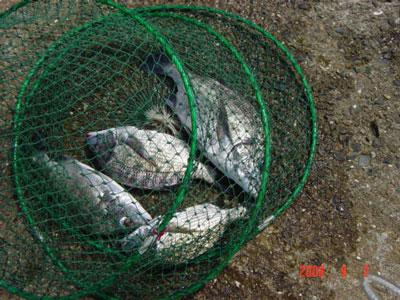 2008年9月2日(火)舞鶴は吉田の筏で30から40cmのチヌが4匹上がった