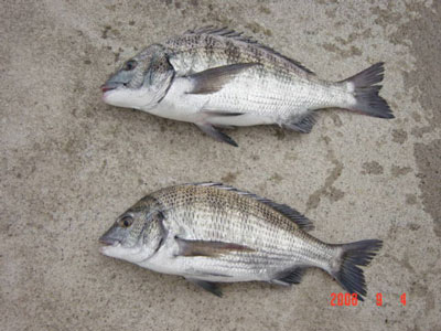 2008年9月4日(木)舞鶴は吉田の筏で40cmと43cmのチヌが2匹上がった