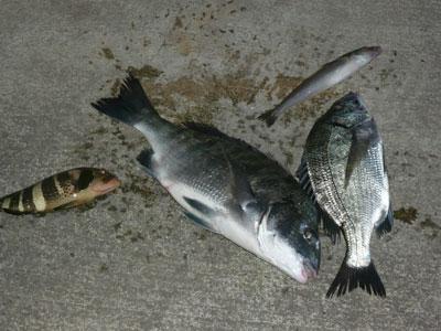 2008年9月10日(水)舞鶴は吉田の筏で42cmサイズのチヌが上がった