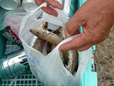 2008年9月13日(土)舞鶴は吉田の弁天島で釣った良型のキス