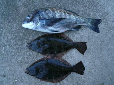 2008年9月14日(日)舞鶴は吉田の筏で上がったヒラメとチヌです