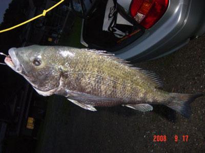 2008年9月17日(水)舞鶴は吉田の筏で上がったチヌは年無しサイズです