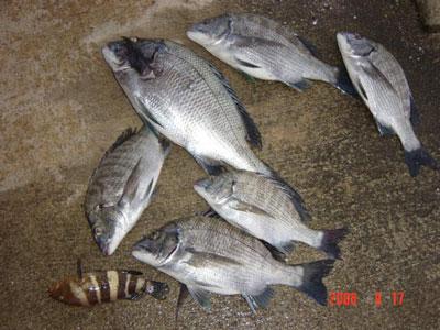 2008年9月17日(水)舞鶴は吉田の筏で上がったチヌは45cmサイズです