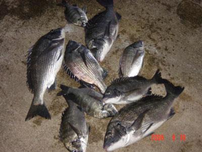 2008年9月18日(木)舞鶴は吉田の筏で上がったチヌは合計で9匹です