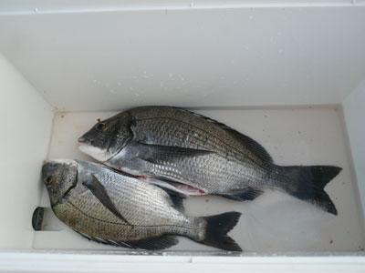 2008年9月20日(土)舞鶴は吉田の筏で上がったチヌは40cmサイズです