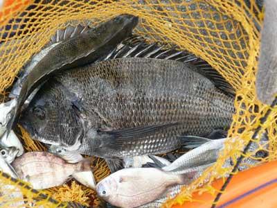 2008年9月23日(火)舞鶴は吉田の筏で五目釣りをご夫婦で楽しまれたようです