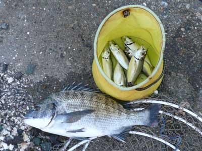 2008年10月1日(水)舞鶴は吉田の筏で上がったチヌは35cmとアジです