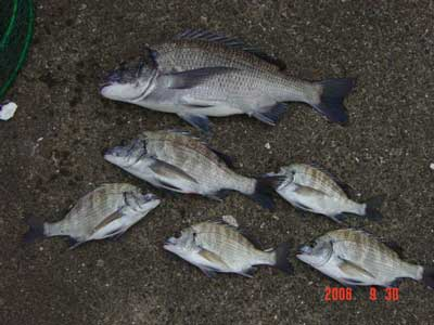 2008年9月30日(火)舞鶴は吉田の筏で上がったチヌは45cmです