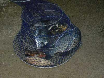 2008年10月11日(土)舞鶴は吉田の筏で上がったチヌは30cmと35cmです