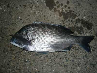 2008年10月19日(日)舞鶴は吉田の筏で釣れたチヌのサイズは45cmです
