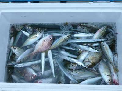 2008年10月26日(日)本日の釣果はアジ・キス・サヨリ・アイゴを合計で100弱です