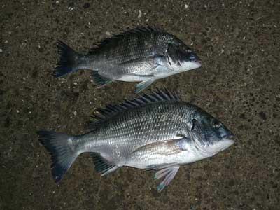 2008年10月26日(日)舞鶴は吉田の筏で釣れたチヌは30cmと40cmでした
