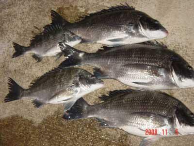 2008年11月5日(水)チヌは43cm、44cm、45cmの3匹と他に2匹です
