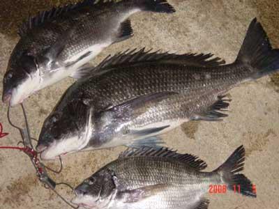 2008年11月5日(水)チヌは47cmが1匹と他に2匹です