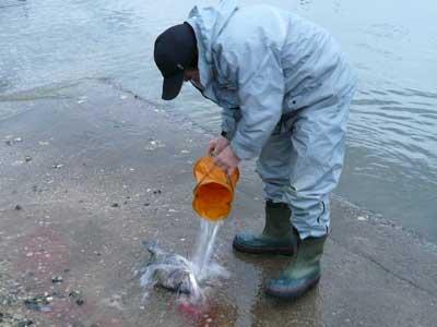 2008年11月9日(日)チヌを浜で絞められて海水で洗われています