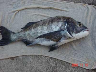 2008年11月15日(土)國丸船頭さんが測られた45cmのチヌです