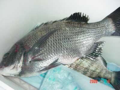 2008年11月16日(日)國丸船頭さんが測られた30cmサイズと43cmのチヌです