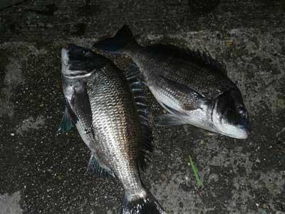 2008年11月22日(土)良型の2匹は45.0cmと46.0cmのチヌです