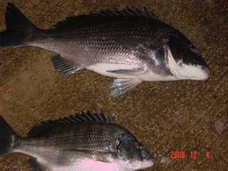 2008年12月4日(木)國丸渡船さんが撮られた45cmと32cmのチヌです