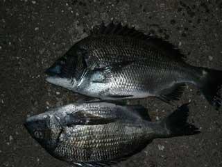 2008年12月7日(日)陸の上で釣り上げたチヌは「頂いた物」です