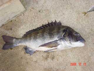 2008年12月13日(土)國丸渡船お一人目のお客さんは47cmのチヌです