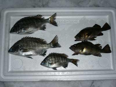 2009年1月11日(日)スカリの中から本日の釣果を出して頂きました