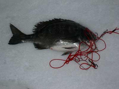 2009年1月11日(日)雪の上に本日の釣果を出して頂きました