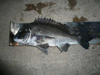 2009年1月12日(月)國丸渡船さんのお客さんが釣られた年無しのチヌは51.0cmです