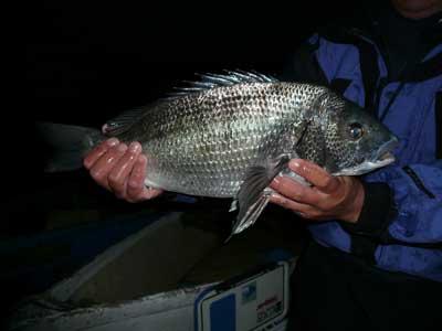 2009年1月12日(月)嵯峨根渡船さんのお客さんが釣られた年無しチヌは52cmとの事です