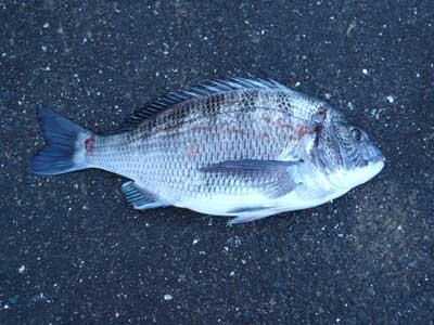 2009年1月18日(日)國丸渡船のお客さんが釣り上げたチヌは44.0cmでした