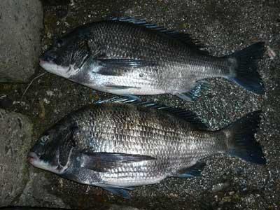 2009年1月18日(日)舞鶴は吉田の筏で釣り上げたチヌは48.0cmと47.0cmでした