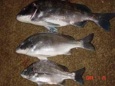 2009年1月25日(日)國丸渡船のお客さんは年無しに惜しい49cmのチヌと他に2匹です