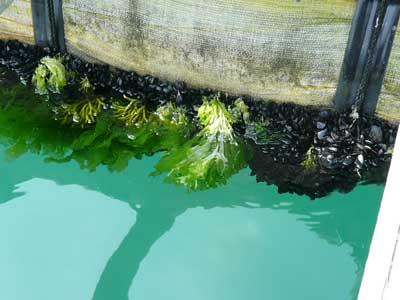 2009年7月19日(日)筏のフロートには貝がビッシリ付着しています