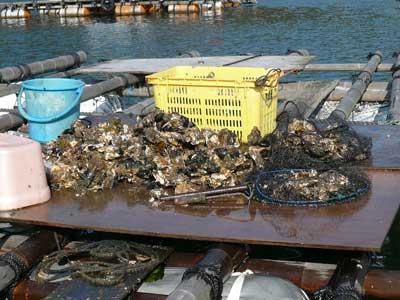 2010年1月17日(日)舞鶴産の牡蠣も身が大きくなって来ました